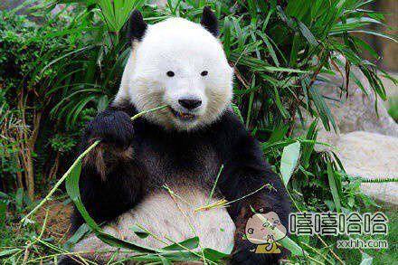 如果熊猫没了黑眼圈.