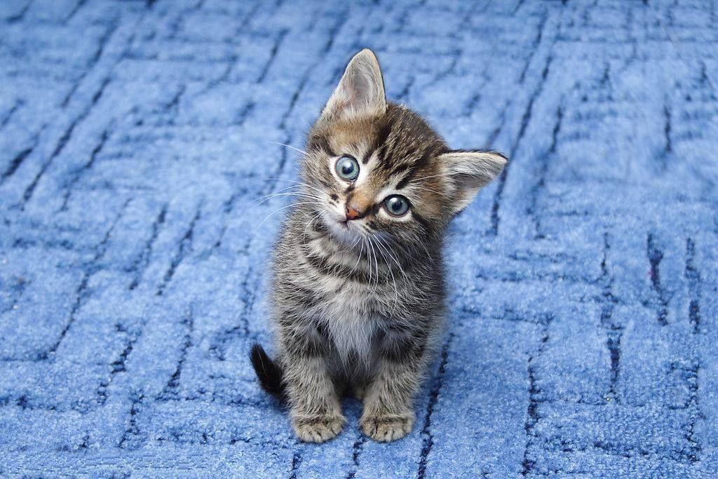 壁纸 动物 猫 猫咪 小猫 桌面 1024_683